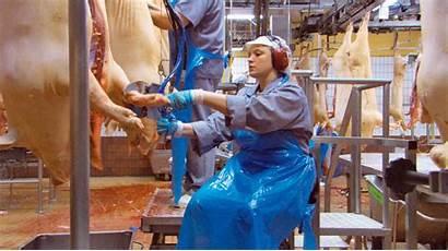 Slaughterhouse Workers Working Chain Processing Injuries Desires