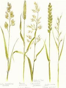 Graminacee Spontanee  Poaceae O Gramineae Barnhart  Luisa