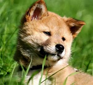 Cute Dingo Pup Arrives at Zoo