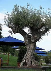 Olivenbaum Im Wohnzimmer überwintern : berwinterung von olivenb umen alter olivenbaum f r mediterrane terrassen ~ Markanthonyermac.com Haus und Dekorationen