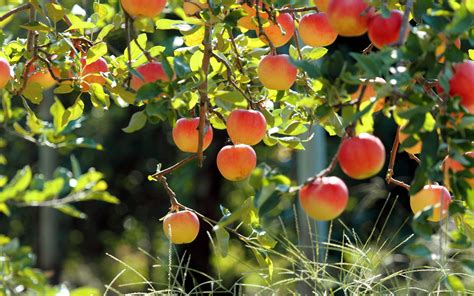Apples On Apple Tree Wallpapers  1680x1050 557756