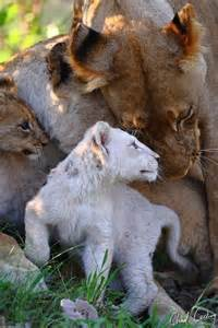 Mom and Baby White Lion
