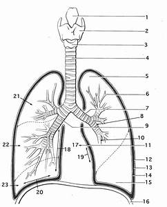 Respiratory System Diagram Black And White