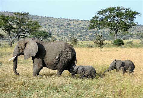 Tanzania (Serengeti National Park) Baby elaphants follow t ...