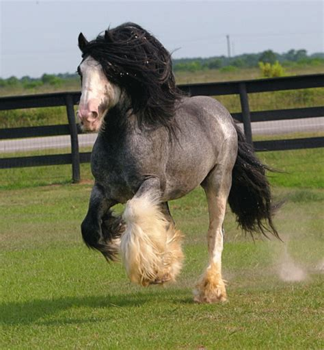 horses rare gypsy vanner horse roan stallion most seen ever breed colors bellagio breeds grey cob mane nothing these