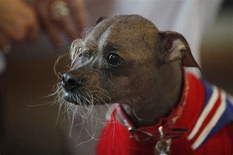 meet mugly worlds ugliest dog     winners