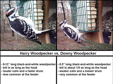 wild birds unlimited hairy woodpecker  downy