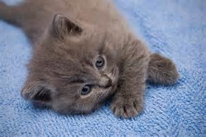 gray cat names pictures of gray kittens pictures of animals 2016