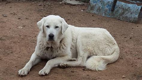 türkis stein bedeutung akbaş hund