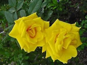 Plantanswers  Plant Answers  U0026gt  Grandma U0026 39 S Yellow Rose