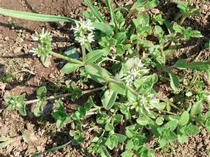 Unkraut Weiße Blüte : nelkengew chse ii paronychioideae und alsinoideae ~ Lizthompson.info Haus und Dekorationen