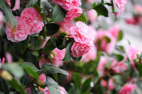 camellia flowers  classic southern shrub