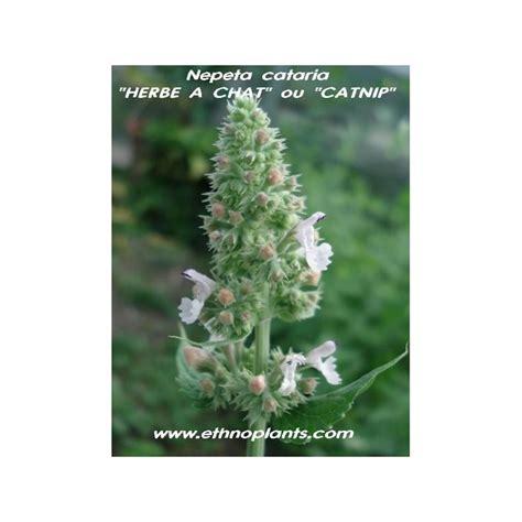 plante repulsif chat exterieur herbe 224 chat plante de cataire nepeta cataria
