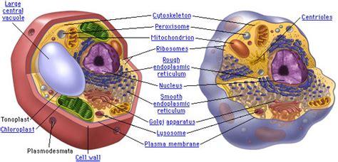 sarahs biology blog plant cell  animal cell diagram