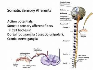 Lecture 12 Somatosensory System and Nociception