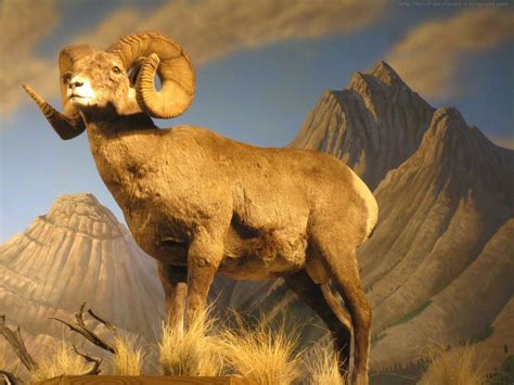 animals american bighorn sheep  res wallpaper