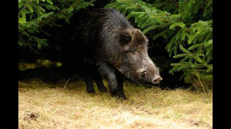 Wounded Boar Attacks Forest Ranger