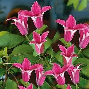Blühende Kletterpflanzen Winterhart Mehrjährig : tulpen clematis 39 princess diana 39 online kaufen bei ahrens ~ Michelbontemps.com Haus und Dekorationen