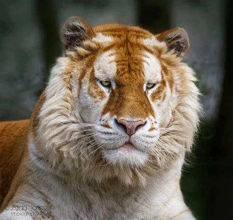 Rare Golden Tabby Tiger Animalarium