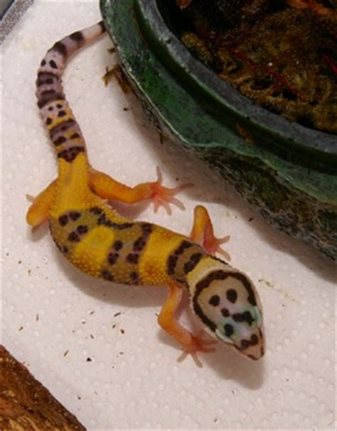 hatchling leopard gecko named fancy