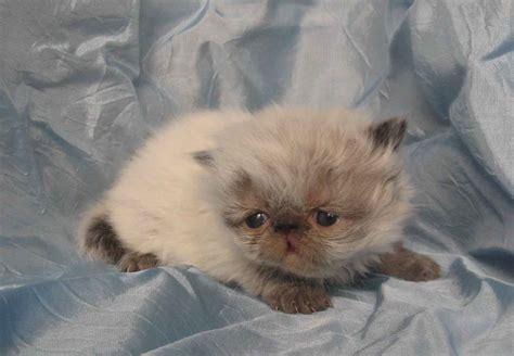gattini persiani regalo gattini persiani petpassion