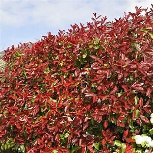 Arbuste Persistant Croissance Rapide : arbuste persistant croissance rapide pivoine etc ~ Premium-room.com Idées de Décoration