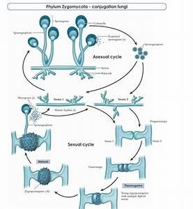 30 Life Cycle Of Fungi Diagram