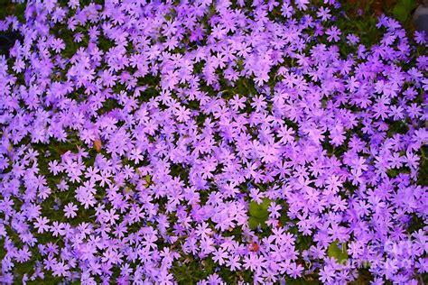 ground cover purple purple flower cover photograph by susan stevenson