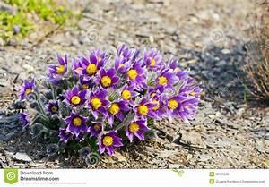 Pasque Flower Royalty Free Stock Image - Image: 35125596