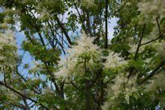 Baum Mit Blüten : baum hoch und schmal diese sorten wachsen s ulenf rmig ~ Frokenaadalensverden.com Haus und Dekorationen