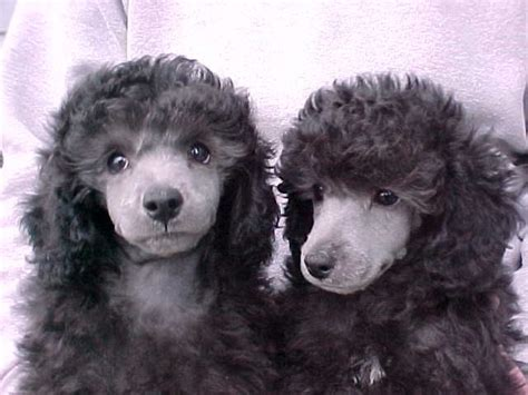 silver poodle puppies poodles  silly doodles