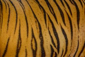 Tiger Skin Texture - High-quality Free Backgrounds