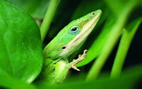 green, Lizard Wallpapers HD / Desktop and Mobile Backgrounds