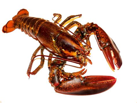 americana kitchen island lobster lobsters live free photo on pixabay