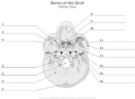 blank skull diagrams bing images anatomy bones skull