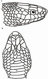 Scales Snake Drawing Diagram Getdrawings sketch template