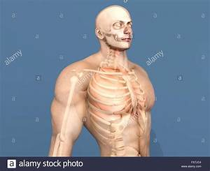 3d Visualization Of The Human Anatomy  The Internal Organs