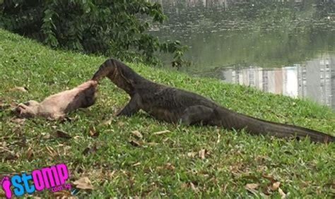 Monitor Lizards Sighted In Bizarre Places