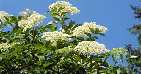 Holunder Pflege, Vermehrung Und Schnitt  Mein Schöner Garten