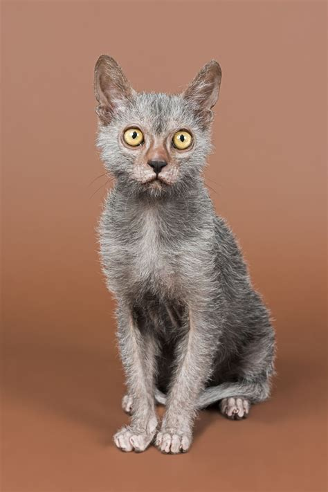 cat breeders the lykoi cat a new breed pets4homes