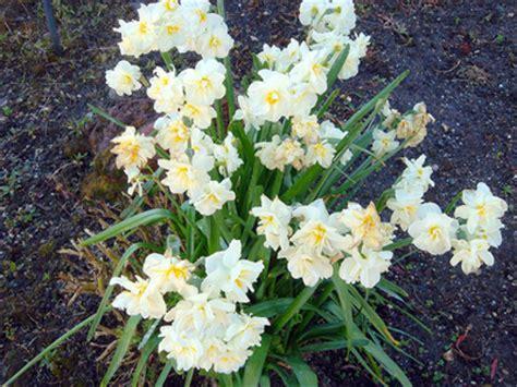 what do daffodil bulbs look like