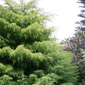 Golden Japanese Cedar Tree