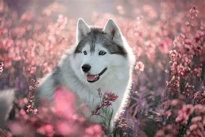 Husky Dog Animals Wallpapers Spring Eyes Desktop