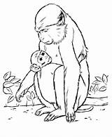 Monkey Coloring Pages Drawing Animal Animals Wild Drawings Baboon Template Printable Mother Outline Sheets Patas Cartoon Honkingdonkey Realistic Colouring Templates sketch template