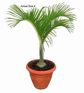 Spindle Palm Tree, Hyophorbe verschaffeltii