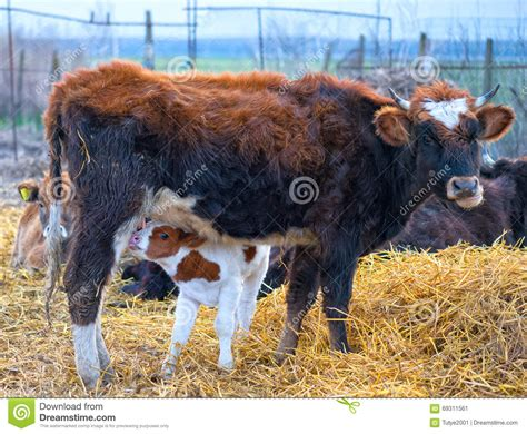 Calf Drinking Milk Stock Image Cartoondealercom 39672535