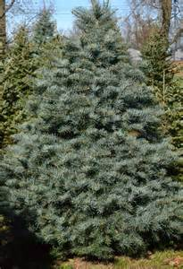 Canaan Fir Christmas Tree by When It Comes To Christmas Trees Fir Is The New Pine In