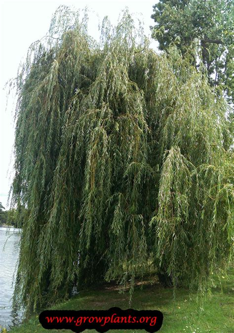 Weeping Willow How To Grow And Care