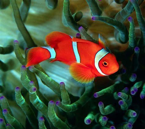 beautiful fish desktop wallpapers  hd wallpaper