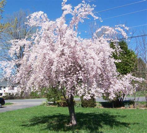 flowering trees wordless wednesday flowering trees